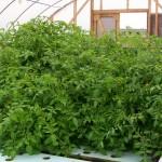 tomatoes-107-lbs